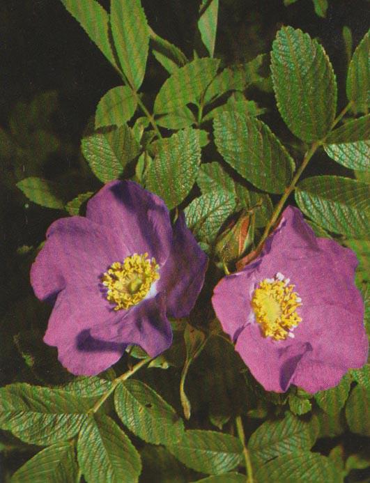 Rosa gallica o pendulina