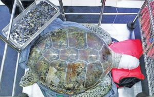 la tartaruga operata