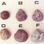 Le sei tipologie di conchiglie - moneta.